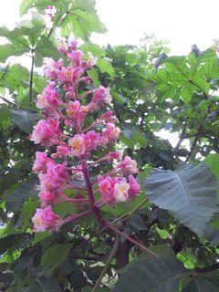 マロニエの花.jpg
