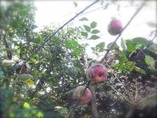 リンゴ残り.jpg