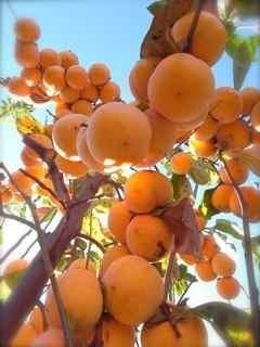 柿たわわ1.jpg