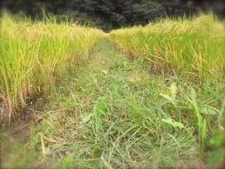 草刈り2 畦.jpg